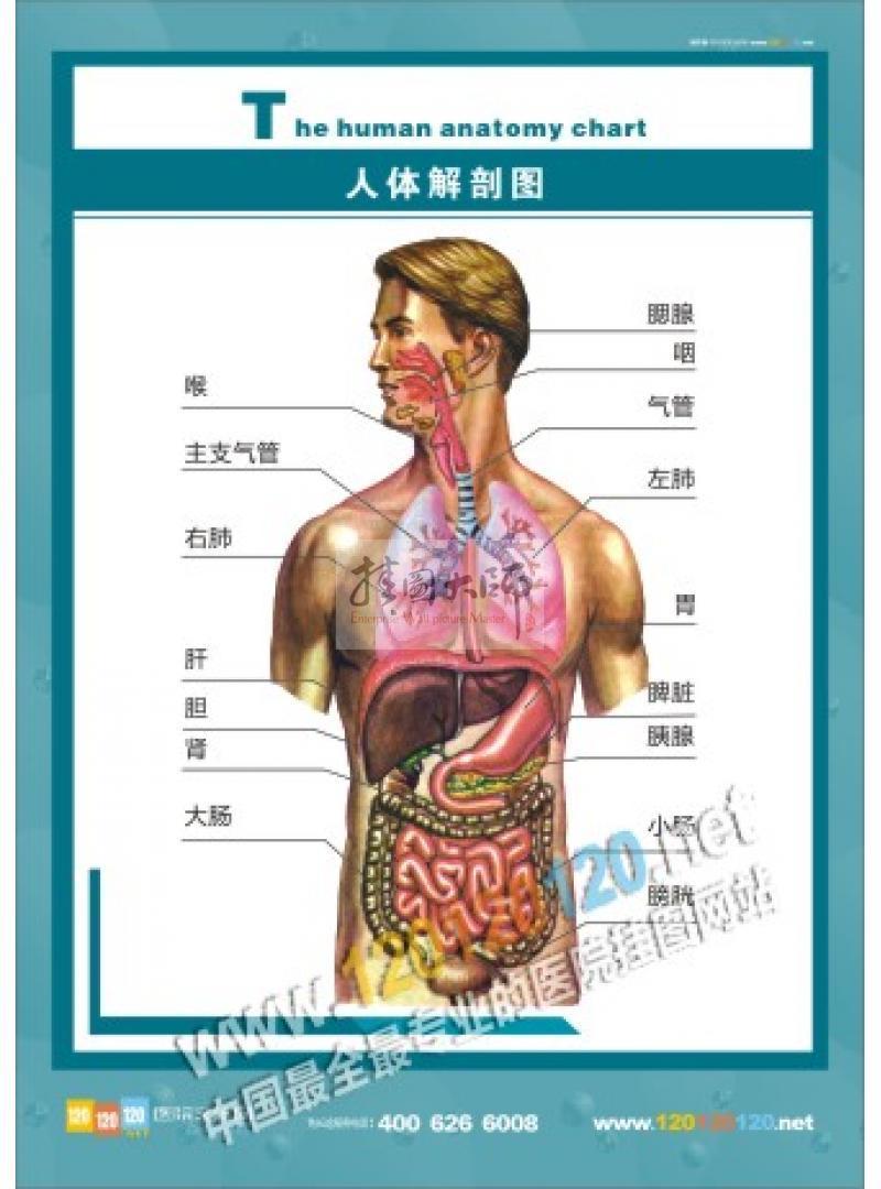 医院解剖图—人体肝胆解剖图