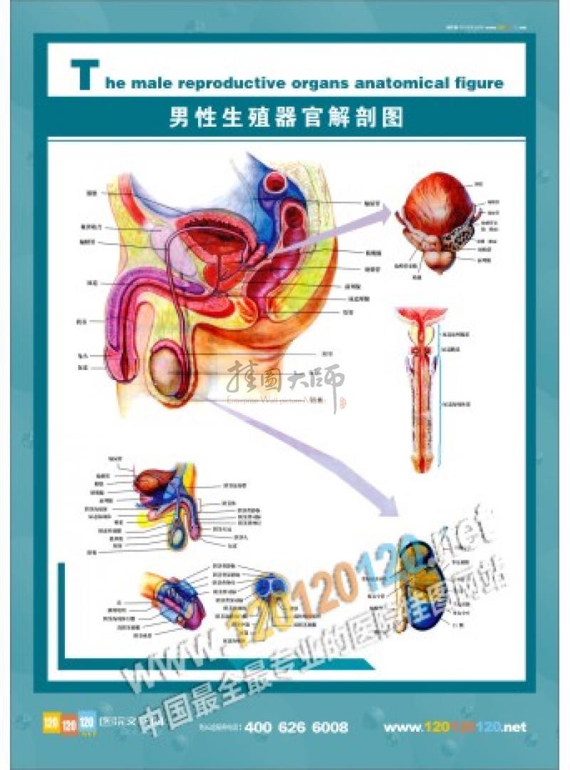 医院人体结构图-男性骨盆正中矢状图