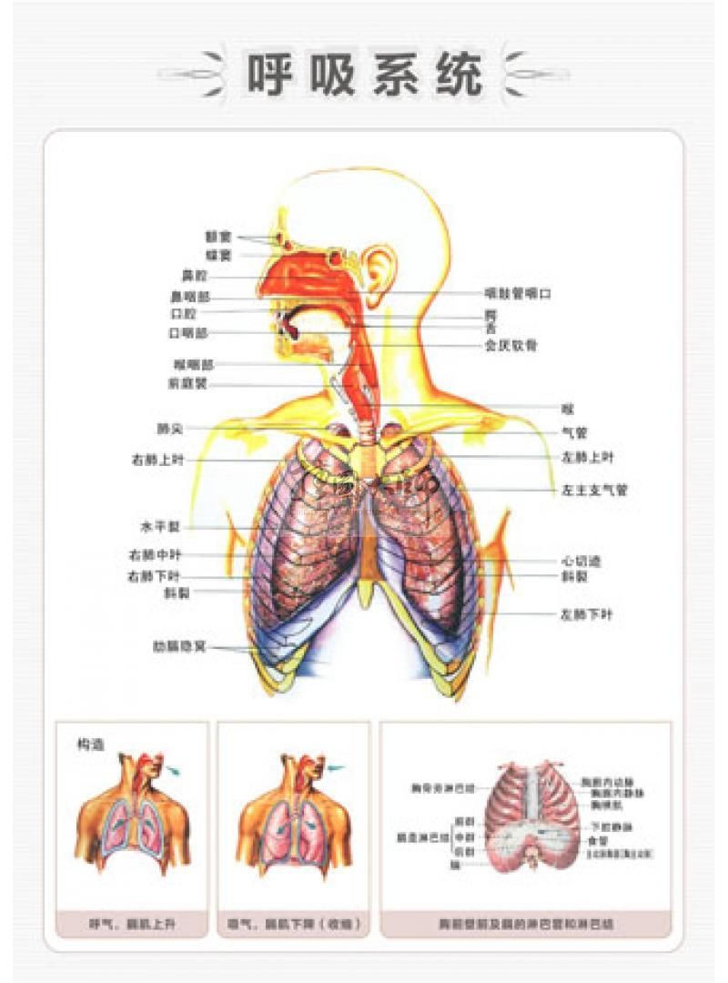 呼吸系统图简笔画