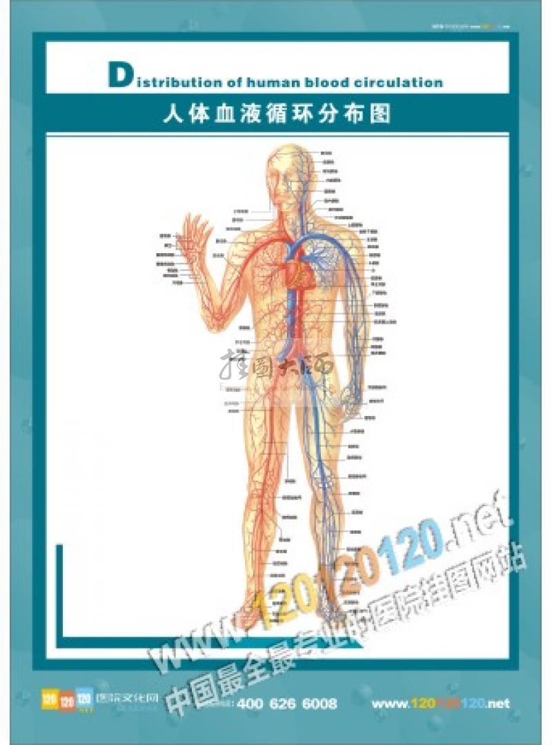 人体结构图-人体血液循环分布图