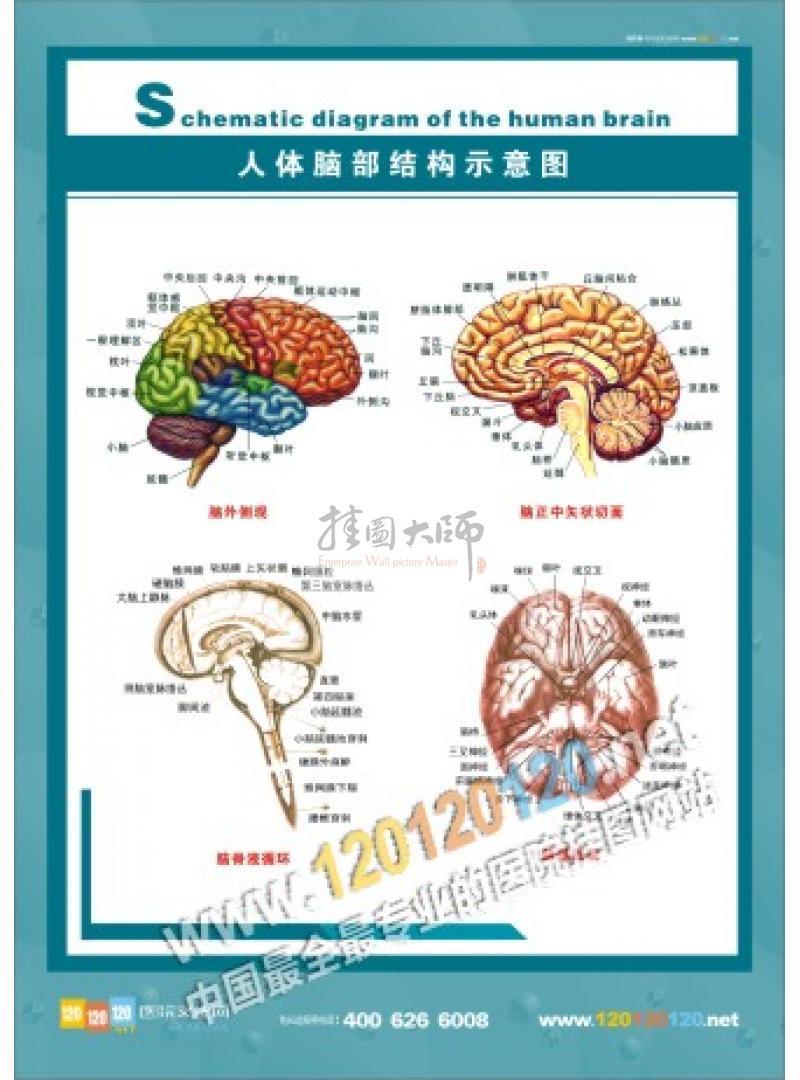 人体脑部结构示意图 人体脑部结构图 脑部结构