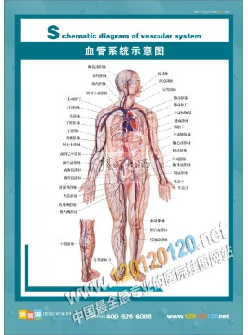 医院人体结构图-全身骨骼图