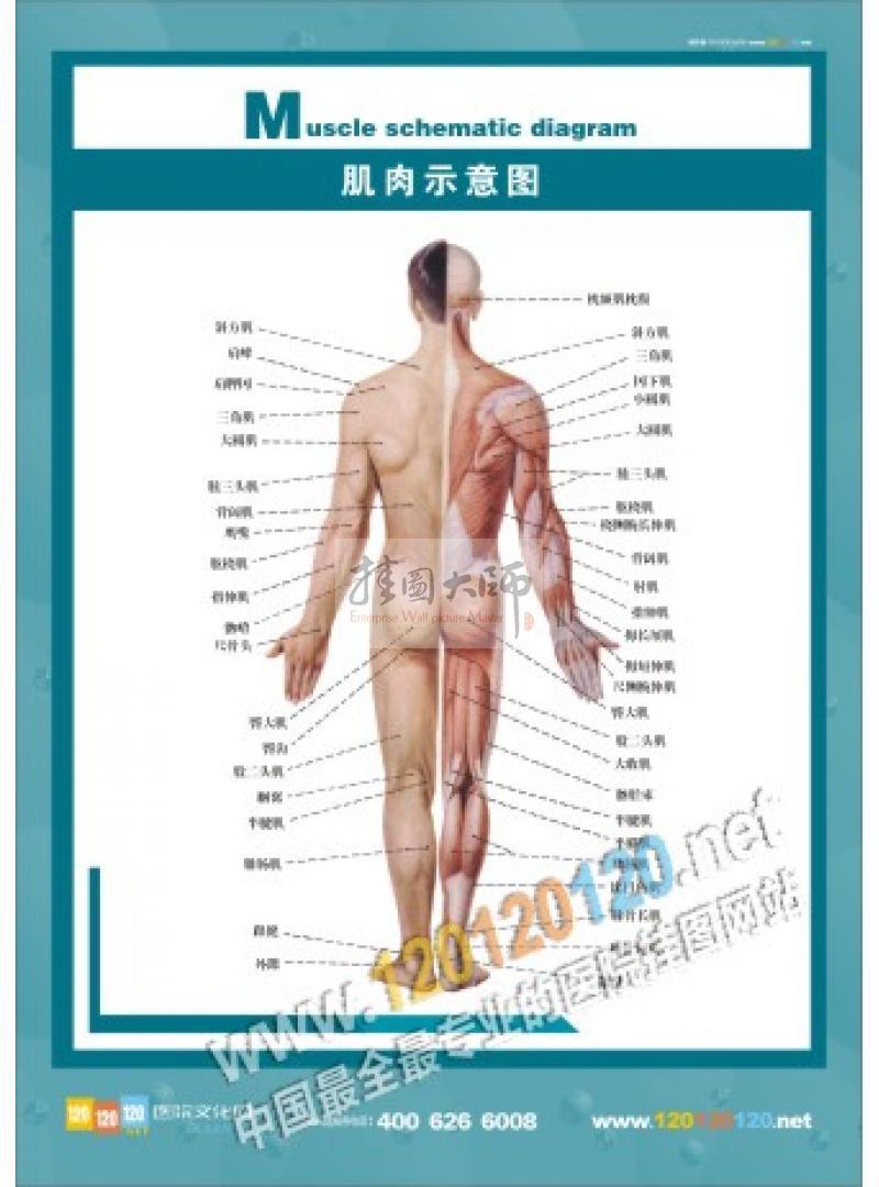 人體結構圖-肌肉示意圖