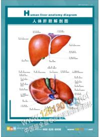 人体肝胆解剖图 人体结构图 人体解剖图