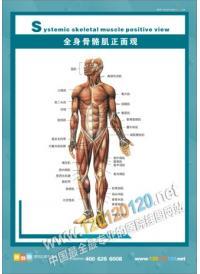 人体骨骼结构图 全身骨骼肌正面观