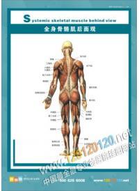 人体骨骼结构图 全身骨骼肌后面观
