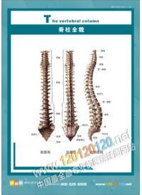 人体骨骼结构图 脊柱全貌