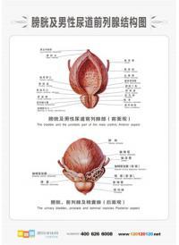 男性人体解剖图