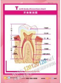 牙齿结构图 牙结构图 牙齿解剖图