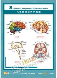 人体肺部结构示意图