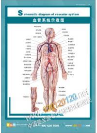 血管系统示意图