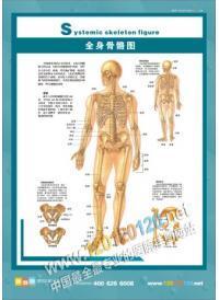 人体骨骼结构图 全身骨骼图