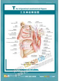三叉神经解剖图 医院挂图
