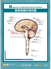 脑脊液循环模式图 人体结构图