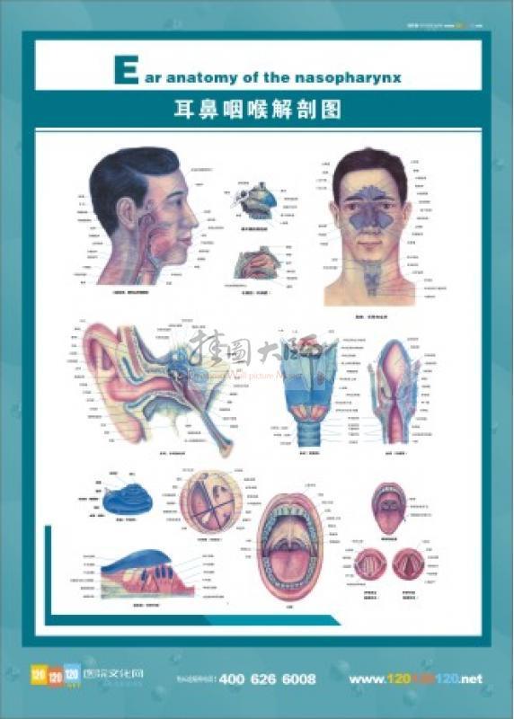 耳鼻咽喉解剖图 五官科标语 五官科图片 五官解