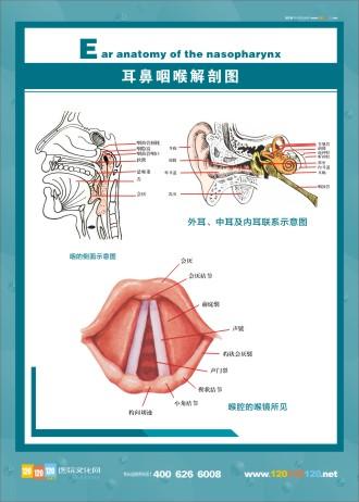 人体解剖图 五官解剖图 医学人体解剖图 人体结构解剖图 耳鼻咽喉解剖图