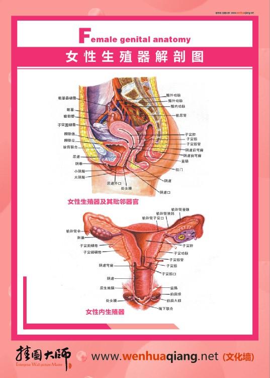 女性生殖器官解剖图|男性生殖器官解剖图