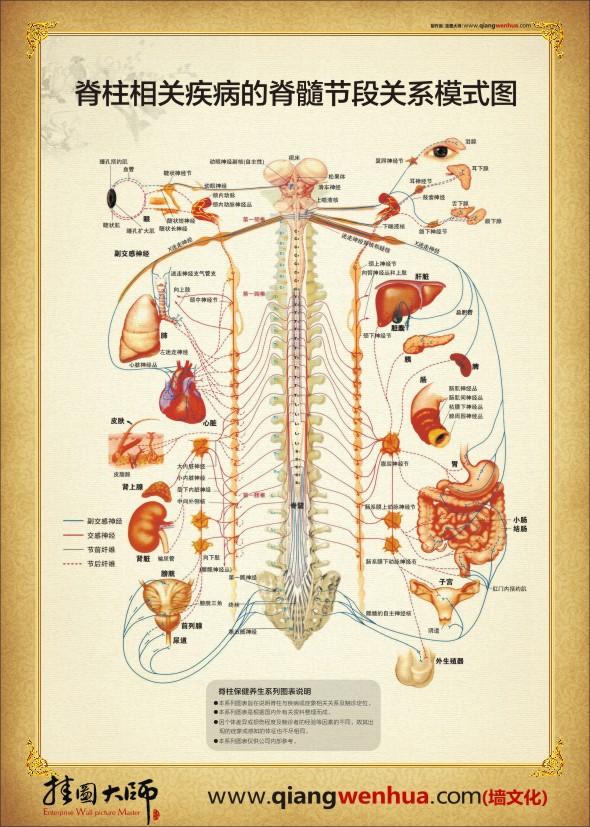 背部身体结构_人体脊椎示意图_裕安图片网