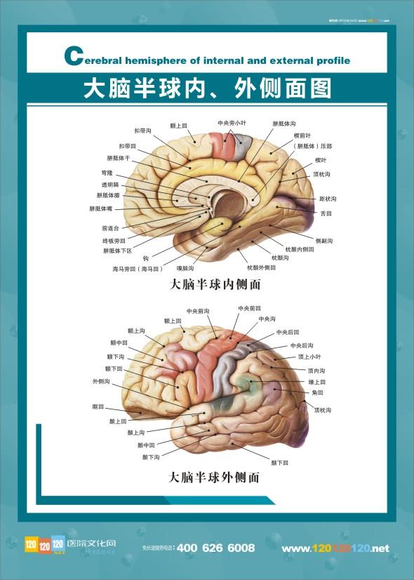 医学人体解剖图-大脑解剖图-大脑解剖结构图