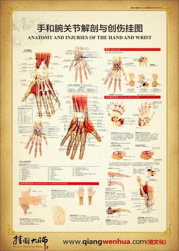 腕关节解剖图 手部解剖图